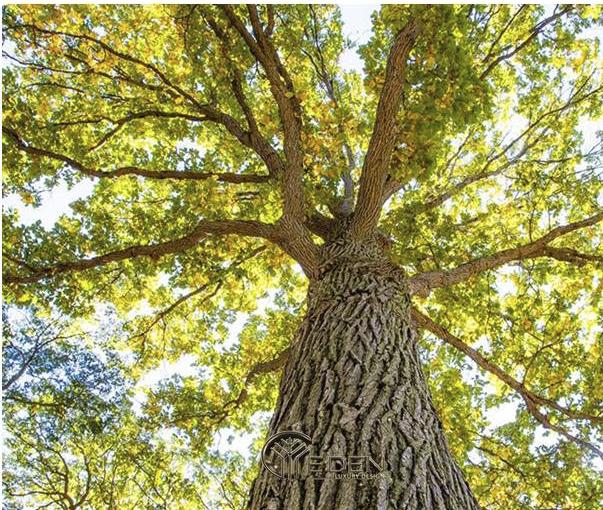 Cây gỗ sồi trắng