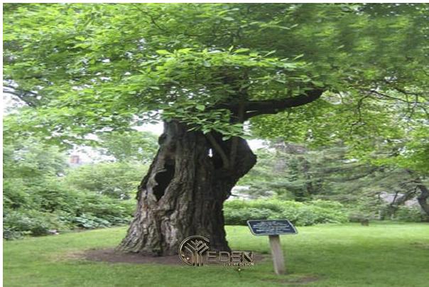 Hình ảnh cây xá xị