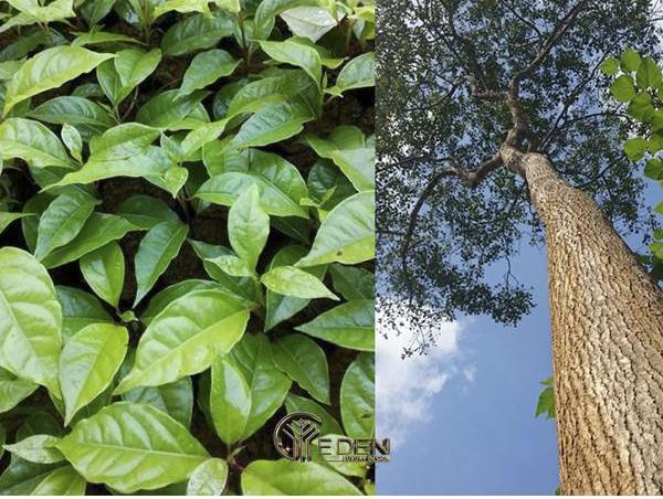 Lá và thân cây xá xị